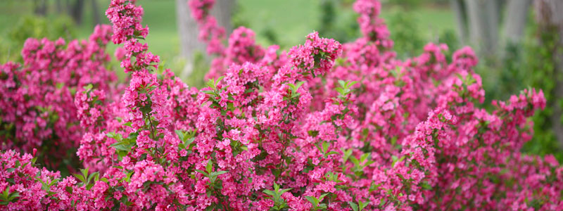 Weigela Sonic Bloom Pink