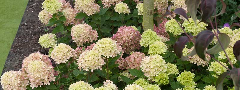 Hydrangee Little Lime