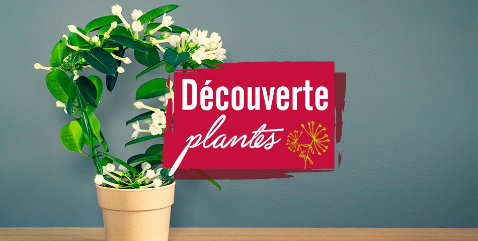 Découverte plante Stephanotis