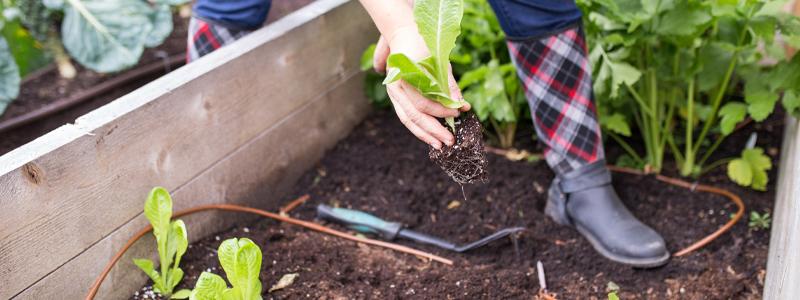 plantation dans une couche froide