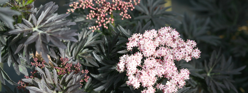 Sambucus Laced Up