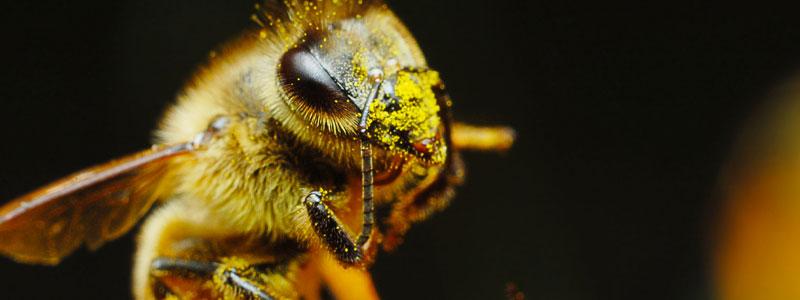 abeille cherche le pollen