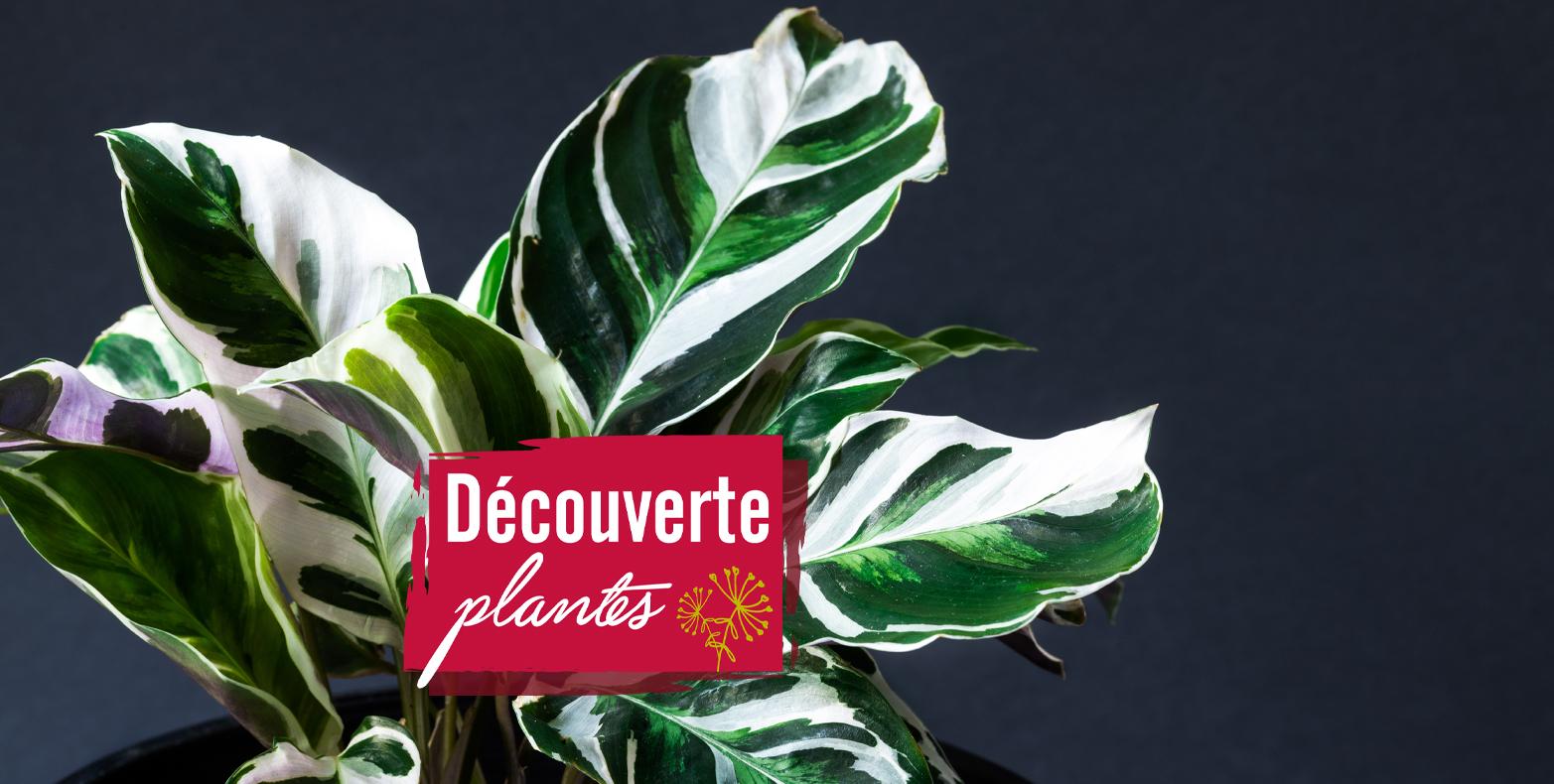 découverte plante calatheas