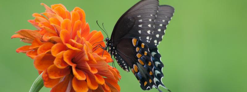 Papillon de la chenille du celeri