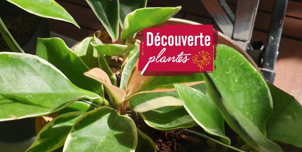 découverte plante Hoya
