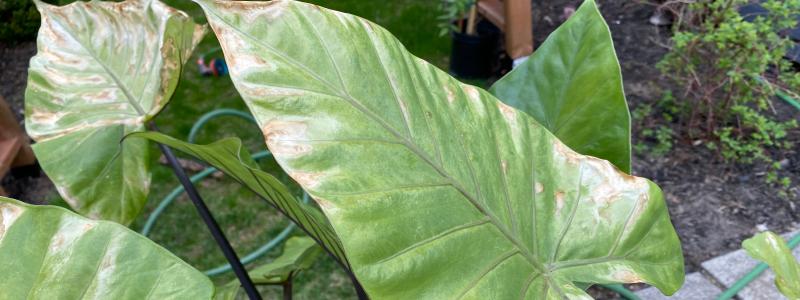 taches brune et blanche sur les feuilles