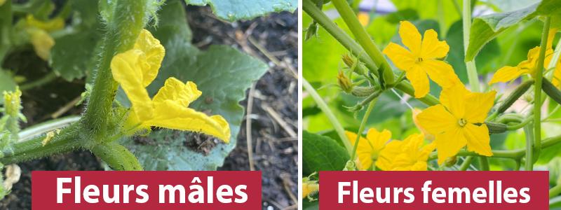 fleurs male VS femelle